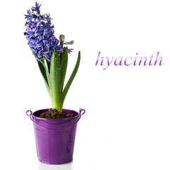 Violet hyacinth isolate on white background