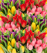 fresh spring tulip flowers with water drops