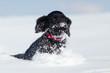süßer Cockerspaniel-Welpe rennt im Schnee