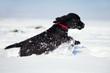 Cockerspaniel-Welpe rennt durch den Schnee
