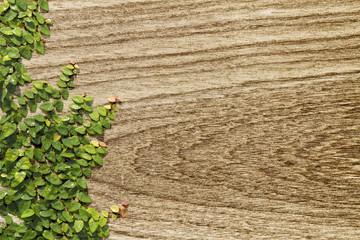 Climbing Ficus pumila on teak wood