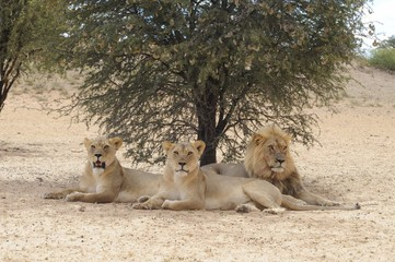 Lion and lionesses (Panthera leo) in the Kalahari desert