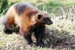 ������, ������: Wolverine in wild