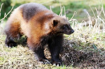 Wolverine in wild