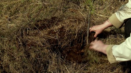 Planting a young tree in the ground (cedar).