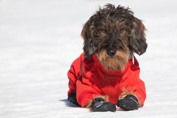 Cane bassotto sulla neve