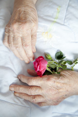 Hands of 92 years old lady holding beautiful rose