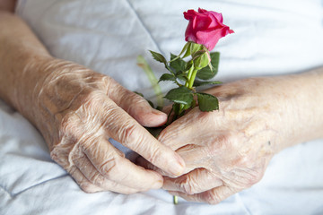 Hands of elderly lady with rose-series of photos