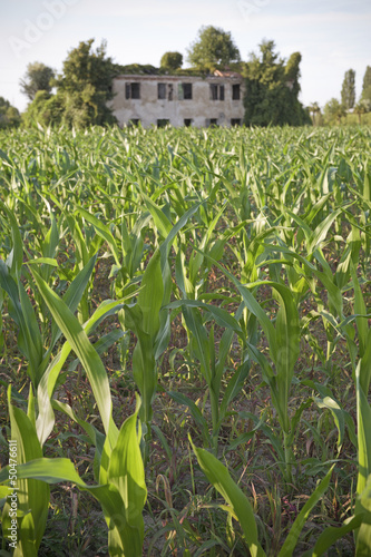 Young plants in a corn field with rural ruin on background