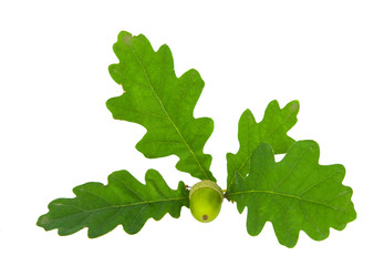 Oak branch with acorns isolated