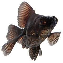 Black  Goldfish on White Without Shade