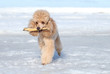 Miniature poodle plays with a dry branch