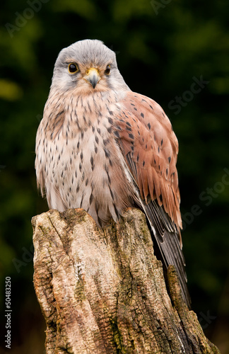 Kestrel sat on a tree stump close up