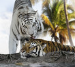 White And Brown Tigers