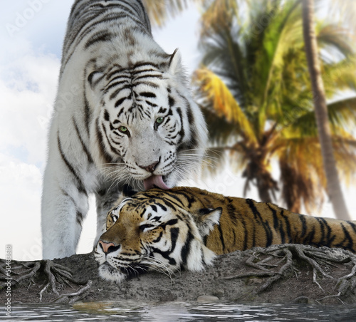 White And Brown Tigers © SunnyS