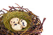 Quail's Eggs and Feathers in a Easter Nest