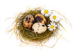 Quail's Eggs and chamomiles in a Easter Nest
