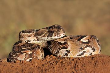 Puff adder (Bitis arietans) snake
