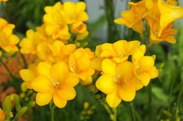 鮮やかな黄色いフリージア