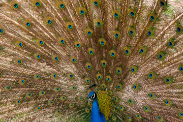 peacock with outstretched plumage