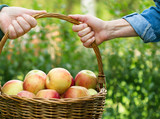 Basket full of apples in the hands