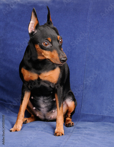 Miniature Pinscher on blue background