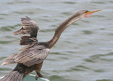 Anhinga Bird standing and screaming by the water