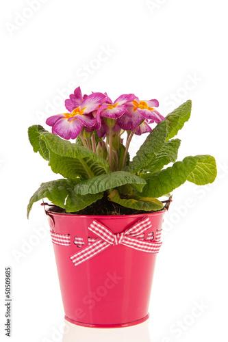 Pink Primrose in bucket
