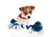 Jack Russel puppy with chewing rope