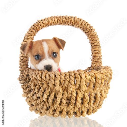 Jack russel puppy in basket