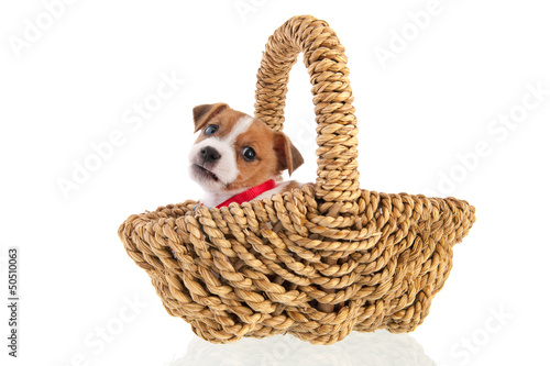 Six weeks old Jack Russel in basket