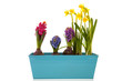 Colorful Hyacinths and daffodils