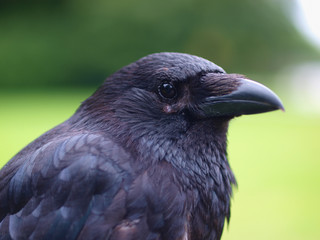 Black Carrion Crow portrait