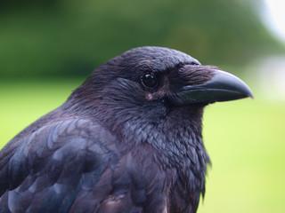 Black Carrion Crow portrait