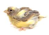 Cría de canario