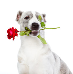 dog with a red rose. isolated on white