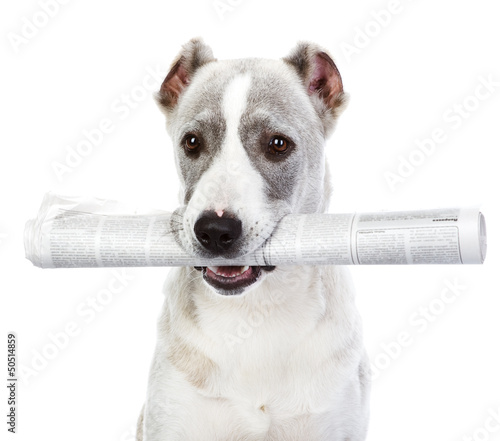 dog with newspaper. isolated on white