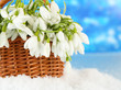 Spring snowdrop flowers in wicker basket with snow,