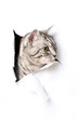 Katze durchbricht Papier - Cat breaks through paper