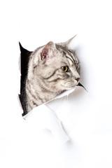 Katze durchbricht Papier - Cat breaks through paper