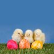 Drei kleine Küken mit Ostereiern