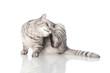 canvas print picture - Katze kratzt sich - Cat scratching
