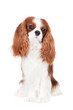 cavalier king charles spaniel dog portrait