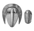 Trilobite Harpides & Trilobite Calymenides