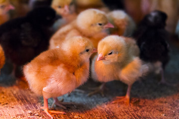 Bunches of chicks