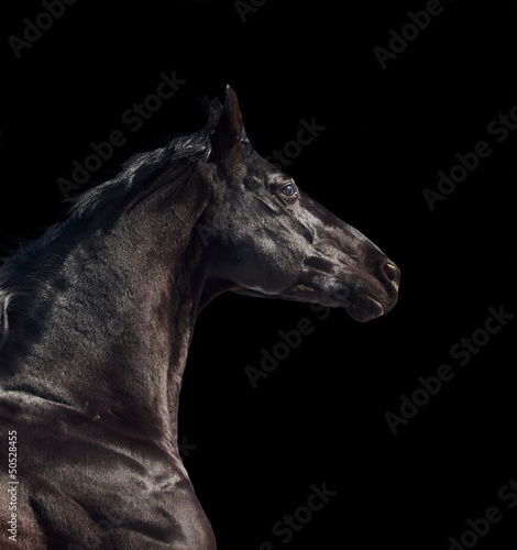 portrait of running sportive breed  horse isolated