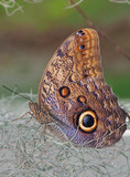 Owl Butterfly standing on the dry plants