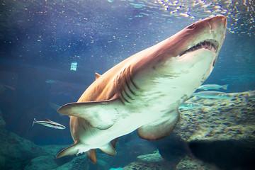 Bull shark underwater in natural aquarium
