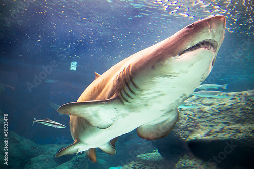 Bull shark underwater in natural aquarium
