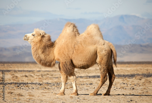In de dag Kameel Bactrian camel in the steppes of Mongolia